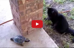 Watch A Cat And Turtle Play A Riveting Game Of Tag