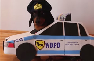 "Dachshunds Play ""Cops And Robbers"" BRB Dying Of Cute"