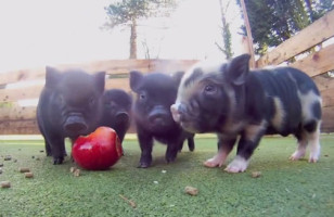 Micro Pigs Sharing An Apple Is TOO CUTE TO COMPUTE