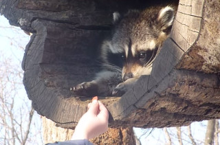 This Raccoon Reaching For Food Is Funnier Than It Should Be