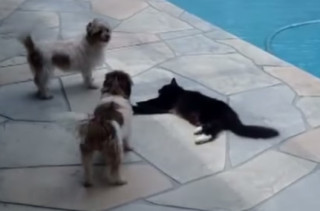 A Dog Learns A Lesson The Hard Way: Don't Bother The Cat