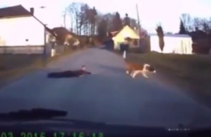 Dash Cam Footage Shows A Dog Dragging Kid Across The Road