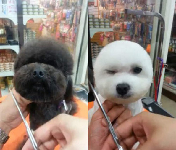 Dog Getting Haircut Dogs-square-round-head-haircut