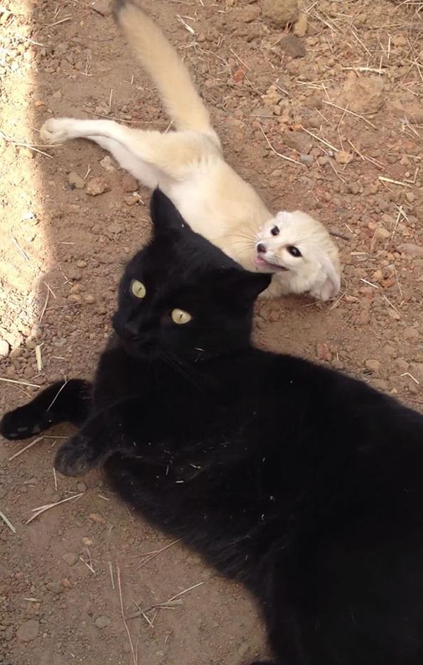 Cat That Looks Like A Fox So Cute! Watch A...