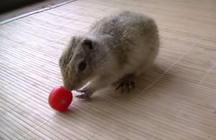 Absolutely Ridiculous: A Squirrel Struggles To Pick Up A Tomato