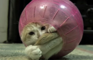Watch This Ridiculous Video Of A Kitten Stuck In A Hamster Ball