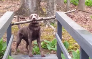 The Story Of A Dog With A Stick Versus A Narrow Bridge