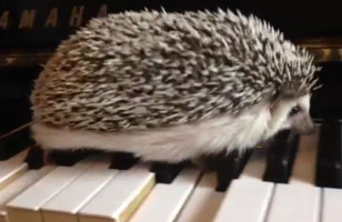 A Hedgehog Plays A Jazzy Tune While Walking Across A Piano