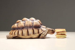 Tortoises Eating Pancakes Makes For Ultimate Cuteness