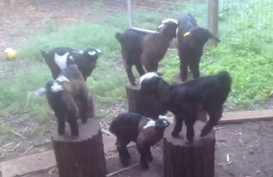 A Bunch Of Baby Goats Hopping Around, Playing Musical Chairs