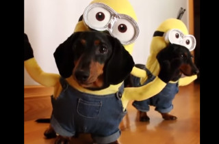 These Wiener Dog Minions Are Equal Parts Doofy & Adorable