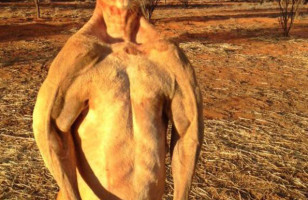 Buffest Kangaroo Ever & More Incredible Links