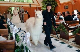 If You Get Married At This Chapel, An Alpaca Will Be Your Witness!