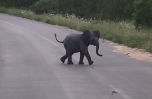 An Adorable Baby Elephant Tries To Scare Away A Flock Of Birds