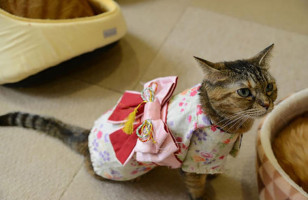Cats Wearing Kimonos Are Apparently All The Rage In Japan
