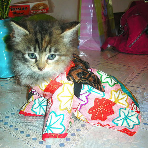 cats-wearing-kimonos-9