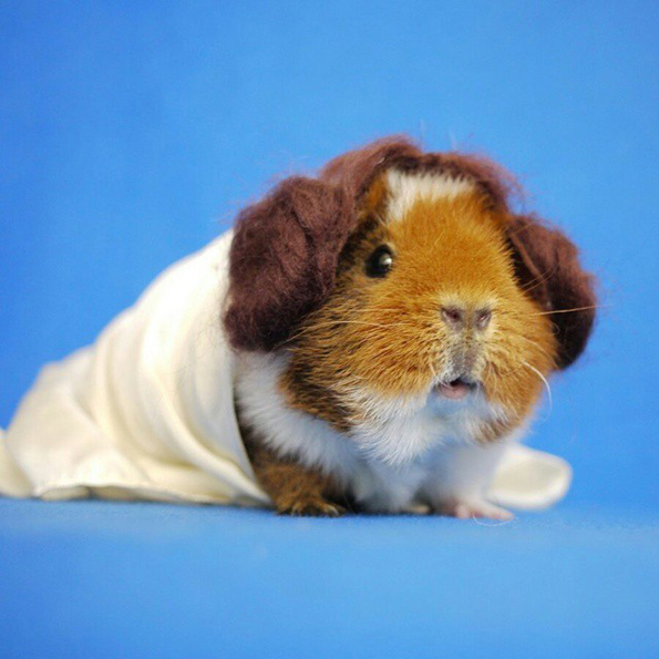 guinea pigs Define guinea pig: a small stout-bodied short-eared tailless domesticated rodent (cavia porcellus) of south american — guinea pig in a sentence.