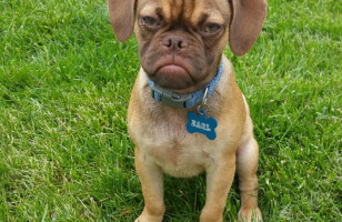 We All Know Grumpy Cat… Now Meet Earl The Grumpy Puppy
