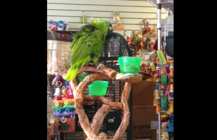 "This Parrot Singing ""Everything Is Awesome"" Is, Well… Awesome"