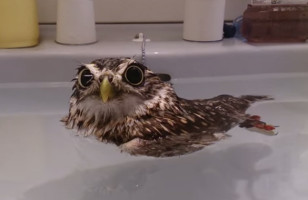 This Little Owl Taking A Bath Is So Cute I Can Barely Handle It