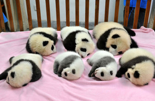 You Have Got To See These Photos Of China's Panda Daycare