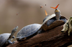 Wow! An Awesome Photo Of A Butterfly Drinking Turtle Tears