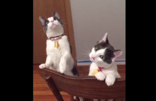 "Some Cats See A Ceiling Fan In Action & They're All ""Wut Is Dis?"""
