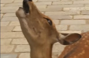 If You Liked Screaming Goats, You'll LOVE Screaming Deer