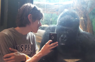A Gorilla Looking At Photos Of Gorillas On An iPhone Is Sweet AF