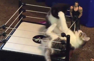Watch Kittens Boxing In A Mini Boxing Ring & TRY Not To Smile