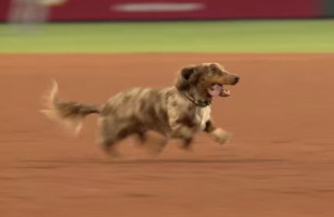 A Wiener Dog Running Wild On A Baseball Field Is Inspiring