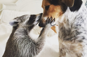 A Raccoon Was Raised With Dogs, Now Thinks She's A Dog