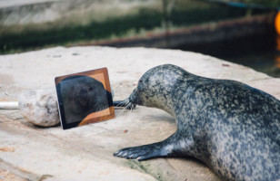 One Separated Seal Couple Keeps In Touch Through Facetime