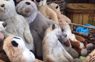A Sleepy Meerkat Snuggling With A Bunch Of Stuffed Meerkats