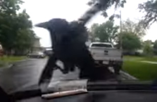 Sit Back, Relax, And Watch A Crow Riding A Windshield Wiper