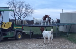 Stop What You're Doing, Here Are Some Goats On A Trampoline