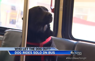 A Dog Learns How To Ride The Bus, Takes It Directly To The Park