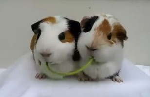 Two Guinea Pigs Recreate The Lady And The Tramp Scene…