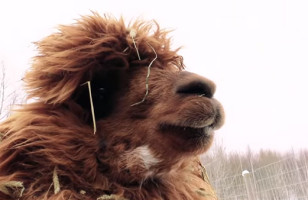 See Alpacas React To Magic & Just TRY Not To Enjoy Yourself