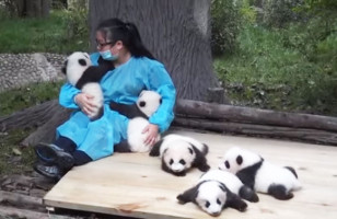 One Lucky Woman Gets Paid To Snuggle With Pandas
