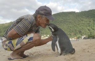 This Penguin Swims 5k Miles To Visit The Man Who Saved Him
