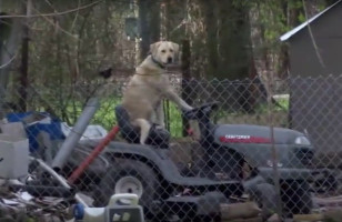 Watch This Dog On A Lawnmower Interrupt A News Report