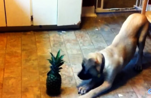 Move Over Cats Vs Cucumbers, Here's Dogs Vs Pineapples