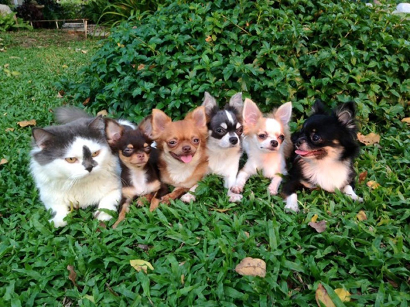 richie-the-cat-and-chihuahuas-2