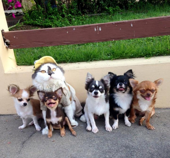 richie-the-cat-and-chihuahuas-5