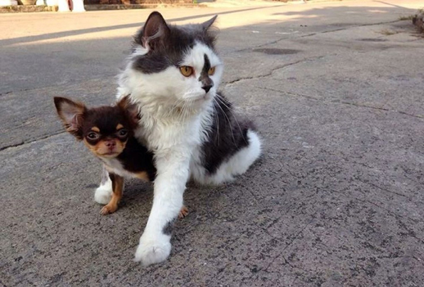 richie-the-cat-and-chihuahuas-6