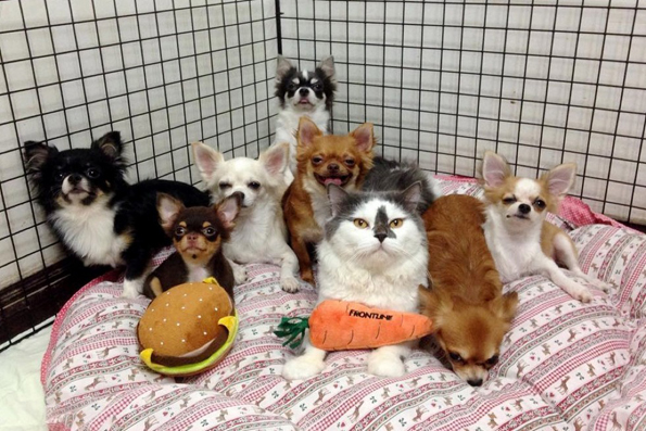 richie-the-cat-and-chihuahuas-9