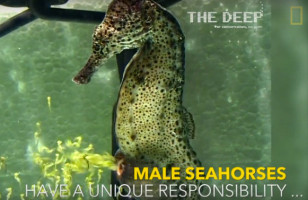 Watch A Male Seahorse Giving Birth To 2,000 Baby Seahorses