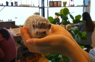 Japan Has A Hedgehog Cafe Because Of Course It Does