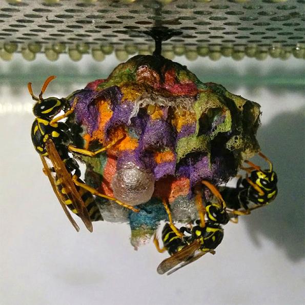 wasp-rainbow-nest-4